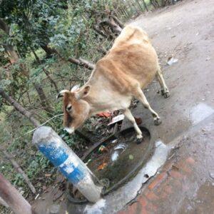 インドでは牛と水道は共有