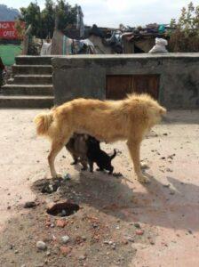 必死にお乳を飲むインドの子犬達